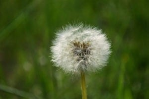 lawn-care-schedule-fighting-weeds-early-spring